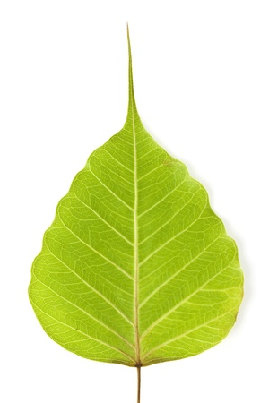 Fallen leaves on white background(Leaf of Bodhi tree, Buddhism spiritual symbol) photo