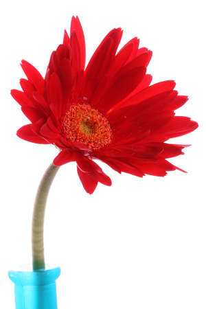 Red gerbera in a blue glass round vase photo