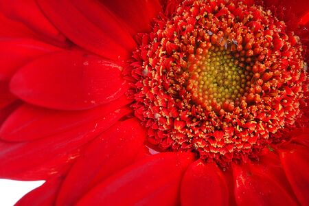 Extreme close up of red gerbera and petals with water drop on white photo