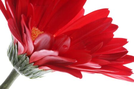 Close up of red gerbera and petals with water drop on white, Shallow Depth of Field focus patal photo