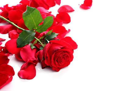 Red Rose   Petals with blank copy space on white Stock Photo