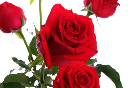 closeup of red roses isolated on a white background, Shallow Depth of Field is center photo