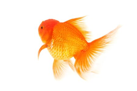 Gold fish isolated on a white background Stock Photo - 16521685