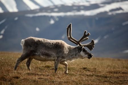 spitsbergen: Svalbard reindeer near Longyearbyen, Spitsbergen