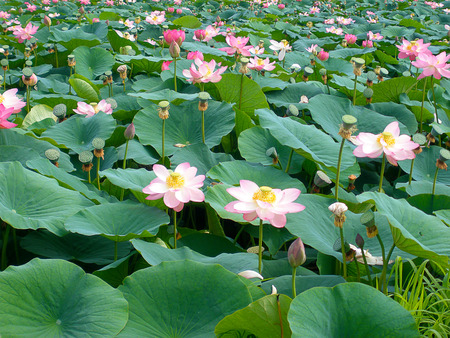 Far East blooming flower of wisdom - Lotus