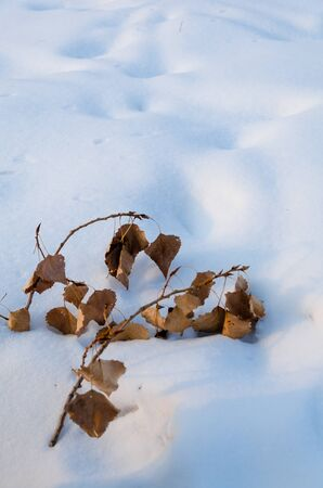 Elegant branch with last years leaves in the snow Park is strictly.