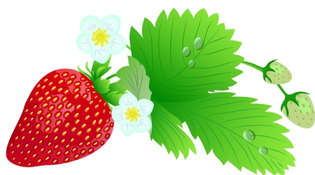 Red juicy strawberries Stock Vector - 17346785