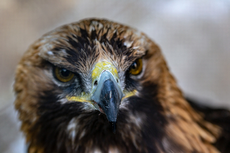 Head of golden eagle close-up at the zoo Stock Photo