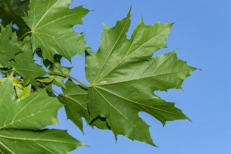 Maple leaves against the sky Stockfoto