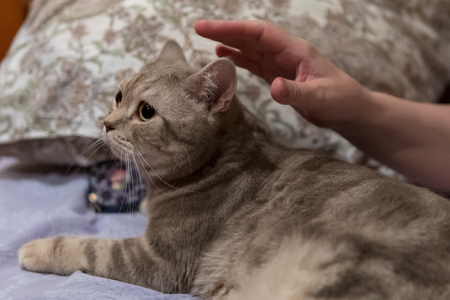 Woman caresses her scottish cat lying on the bed