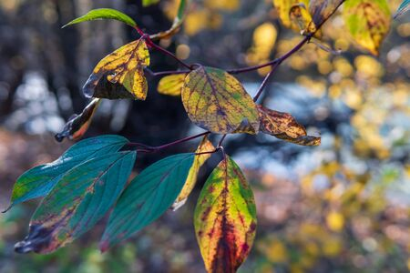 Autumn leaves on a branch lit by the sun with a blurred background.