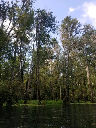 Cypress trees with spanish moss on a river Imagens