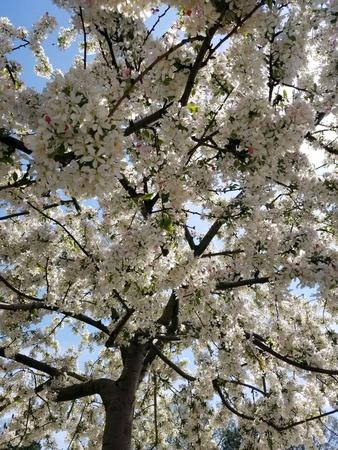 A cherry blossom tree in Washington DC
