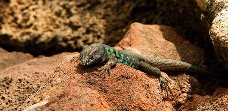 insular: Green lizard on a rock