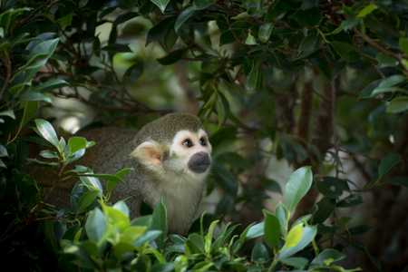 The Squirrel Monkey on The Tree in Wild Jungle 免版税图像