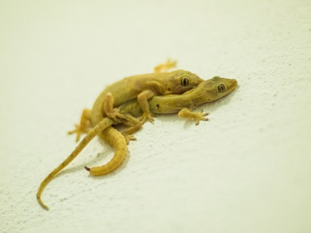 Lizards breeding on the wall photo