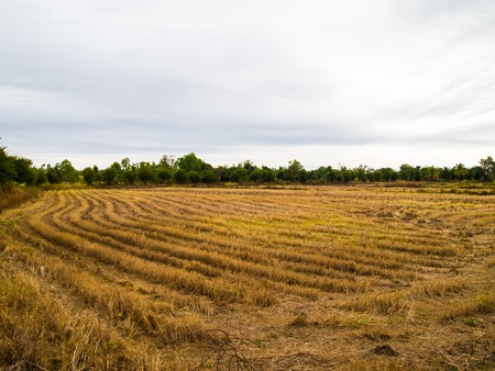 scatters: The field after the harvest. Stock Photo