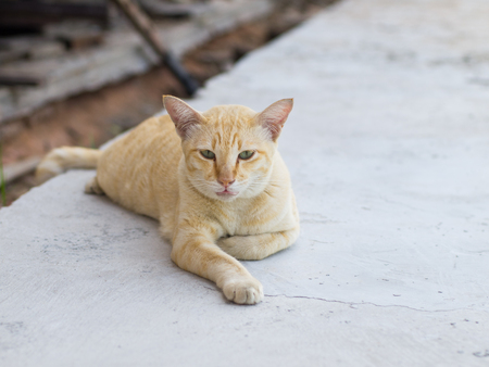 moggy: A Fat brown- orange cat lying down on the white ground.