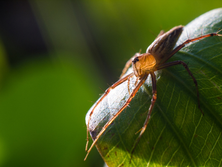 Spider on a green leaf under sunligh.