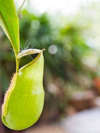 slightly: Green Nepenthes Mouth open slightly.