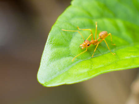 struck: Red ant struck a herd . climb on the green leaves.