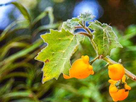 dangerous: Titty Fruit, Solanum mammosum, Beautiful but dangerous, poisonous.