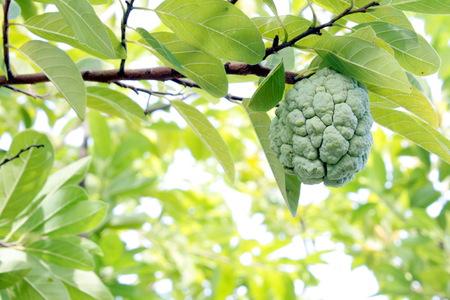 chirimoya: Chirimoya fruta