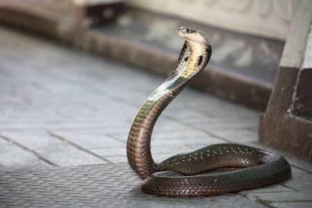 reptile: King Cobra snake  Stock Photo