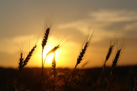 夕日の背景に麦畑の耳を登 写真素材