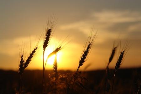 cosecha de trigo: maduraci�n o�dos del campo de trigo en el fondo de la puesta del sol Foto de archivo