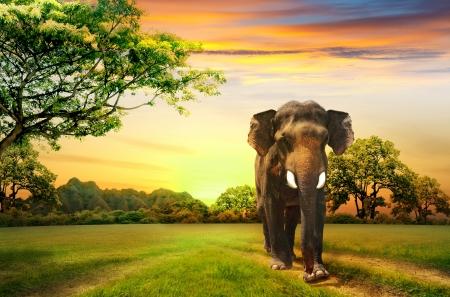 foresta: elefante sul tramonto Archivio Fotografico