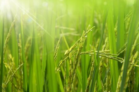 arroz chino: Campo de arroz en la ma?ana