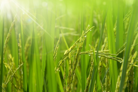 rice field: Rice field in the morning Stock Photo