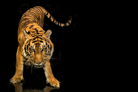 full face: tiger walking black background