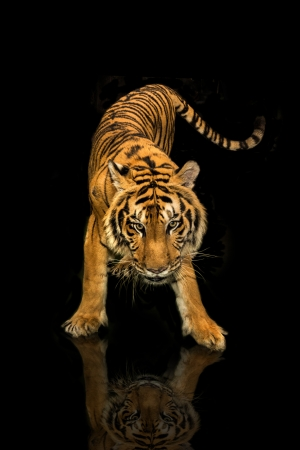 siberian tiger: tiger walking black background