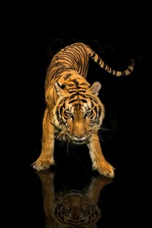 tijger wandelen zwarte achtergrond