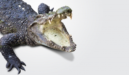 alligator eyes: dangerous alligator with open mouth Stock Photo