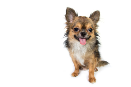 long haired: Chihuahua isolated on white background