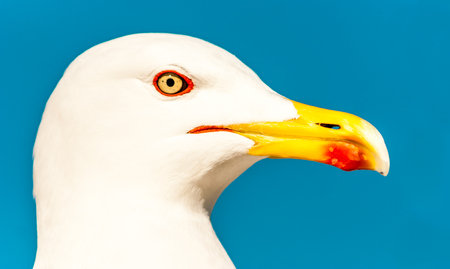 web footed: Seagull Stock Photo