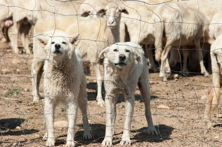 sheepdogs: white sheepdogs
