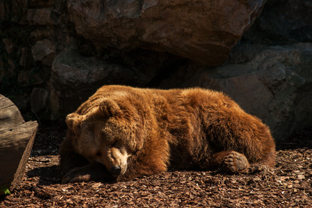 Brown bear in the park of Cornelle (Valbrembo BG)