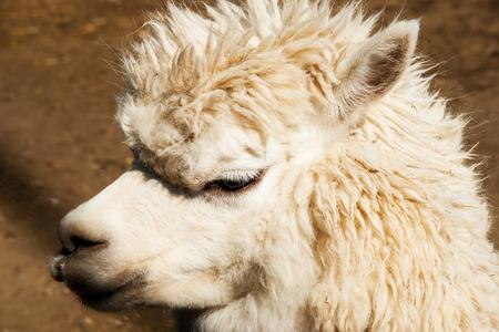 Alpaca gaze decided