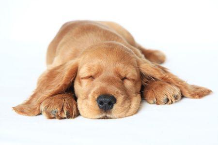cocker spaniel: English Cocker Spaniel puppy sleeping