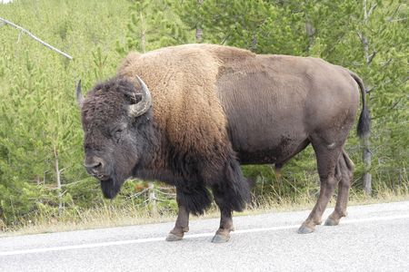 np: bison-buffalo walking on the road at Yellowstone NP, Wyoming