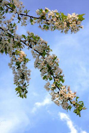 flowered: flowered cherry Stock Photo