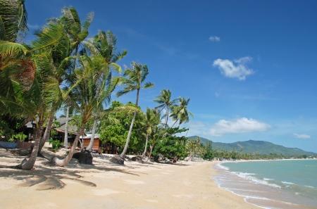 koh: Palmeras en la playa de Koh Samui, Tailandia