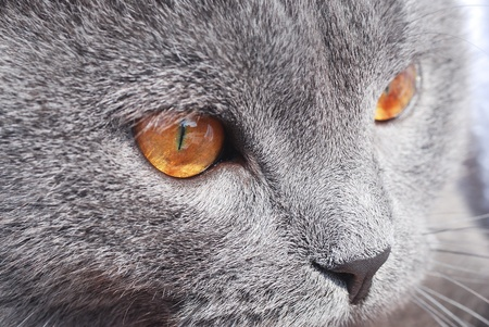 British blue cat detail Stock Photo - 13753496