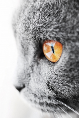 rare animals: British blue cat detail