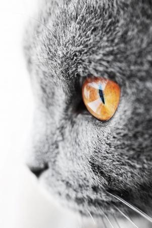 muffle: British blue cat detail