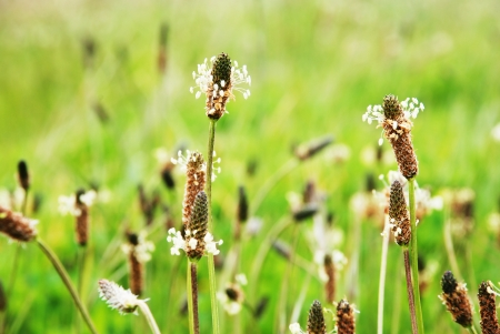 major: Common plantain - Plantago major - N.O. Plantaginaceae Stock Photo